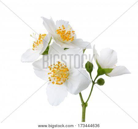 Jasmine's (Philadelphus) flowers isolated on white background.