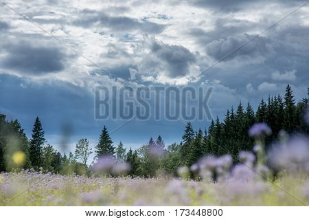 Christmas tree farm forest woods with spruce and fir trees and blurred flower field. Summer spring landscape over dramatic sky cloud.