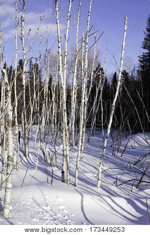 Vertical of a multitude of thin birch trees stalks bare as bones and standing straight at Pabineau Falls near Bathurst, New Brunswick on a bright sunny day with blue skies and clouds in February.