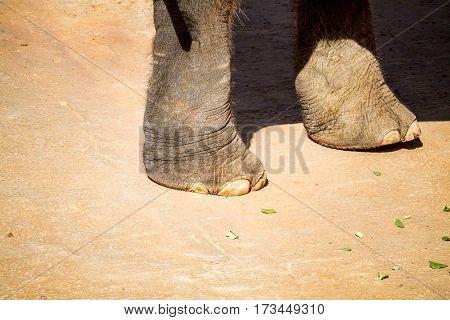 JERUSALEM ISRAEL - JANUARY 23: The Elephant's feet close-up Biblical Zoo in Jerusalem Israel on January 23 2017
