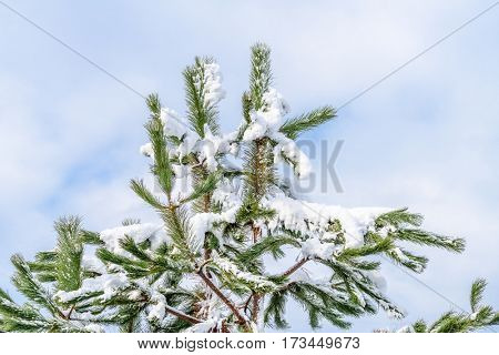 Top of fir tree covered by snow. Vancouver. Canada.