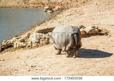 JERUSALEM ISRAEL - JANUARY 23: Hippopotamus in Biblical Zoo in Jerusalem Israel on January 23 2017