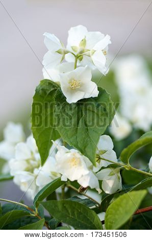 Flowering jasmine background with open white flowers and green leaves.Closeup of White Jasmine Flowers
