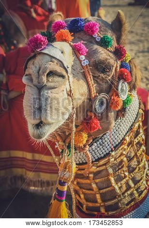Dandified camel during camel festival in Jaisalmer India