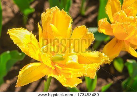 Yellow Tulip (Tulipa). Sort of