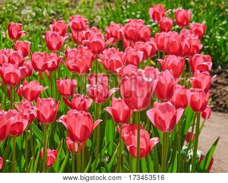 Punch pink Tulips (Tulipa). The Sort Of