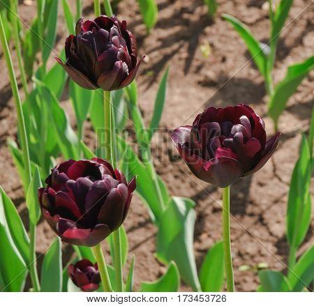 Dark purple terry tulips (Tulipa). The Sort Of