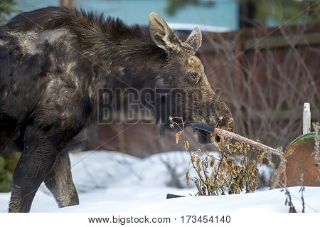 Moose in yard looking for food in a north Idaho town.