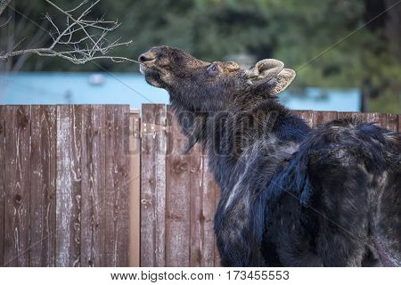 Moose cleans tree of food in a small town in north Idaho.