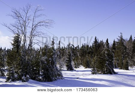 Winter snow scene a row fir trees along the side of the highway to Miramichi, New Brunswick covered in thick glittering ice and snow from a recent ice storm. Shot on a chilly bright blue sky sunny day in February.