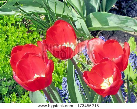 The red tulip flower in garden in Toronto CanadaMay 6 2013