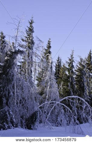 Vertical winter snow scene bent over birch and a row of fir trees along the side of the highway to Miramichi, New Brunswick covered in thick glittering ice and snow from a recent ice storm. Shot on a chilly bright blue sky sunny day in February.