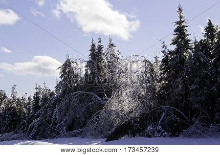 Winter snow scene, bent over birch and a row of fir trees along the side of the highway to Miramichi, New Brunswick, covered in thick glittering ice and snow from a recent ice storm. Shot on a chilly bright, blue sky, sunny day in February.