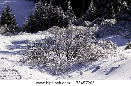 Winter snow scene close view of a row small bare branches and bushes on a snow covered patch along the highway to Miramichi, New Brunswick covered in thick glittering ice and snow from a recent ice storm with rows of fir trees in the background. Shot on a