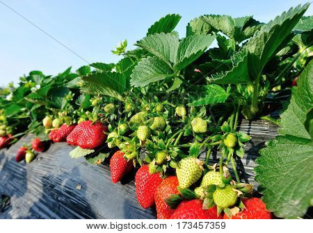 closeup of strawberry fruits in growth at garden
