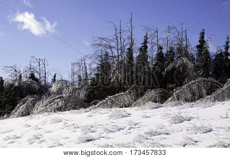 Winter snow scene, close view of small bare branches and bushes on a snow covered patch along the highway to Miramichi, New Brunswick, covered in thick glittering ice and snow from a recent ice storm with rows of ice covered fir and birch trees in the bac