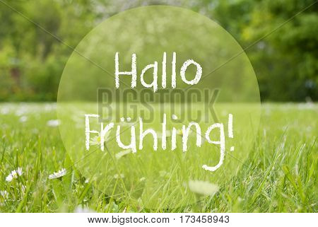German Text Hallo Fruehling Means Hello Spring. Summer Gras Meadow With Daisy Flowers. Blurry Trees As Background.