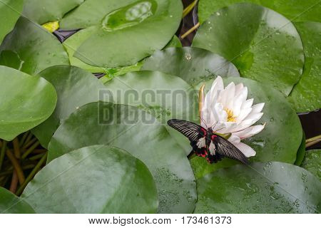 Scarlet Mormon (Papilio rumanzovia) Butterfly Resting on Lily Horizontal with Copy Space