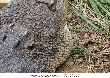 Close Up of Saltwater Crocodile Head showing Textures Horizontal