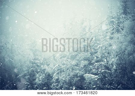 Winter Landscape Photo Background. Spruce Forest Covered by Ice and Snow and the Falling Snow Flakes.