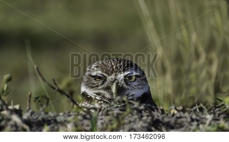 Burrowing Owl in Cape Coral Florida peeking out of his home