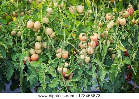 Close Up Red Tomato On Garden Field