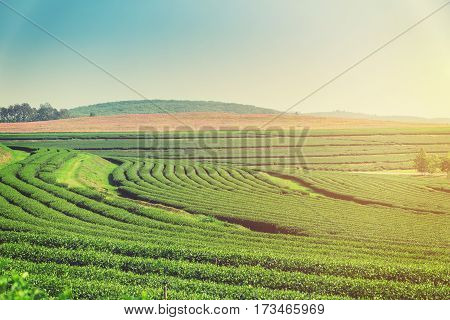 Green Tea Field And Plantation In Morning With Sunlight.