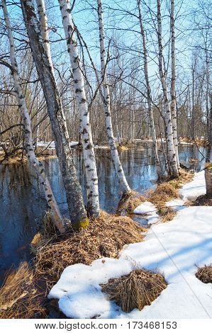 Spring landscape with birch trees and thawed on the river bank