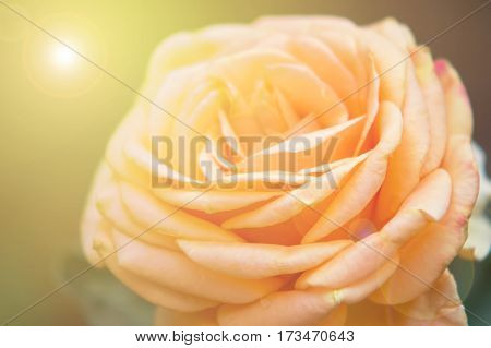 Abstract blur orange rose a sweet background