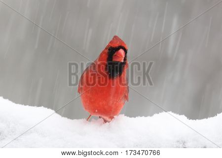 A red male northern cardinal perching in a winter blizzard