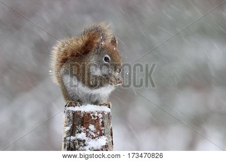 A little red squirrel sitting in a snowstorm eating food.