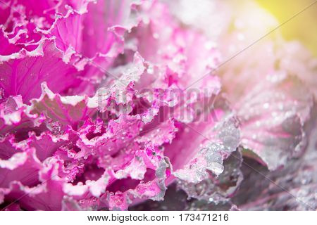 Closed up of Ornamental cabbage (Brassica oleracea) in the garden with sweet and soft light filter for background