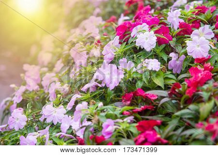 Abstract soft light of colorful petunia flower decorating in the garden