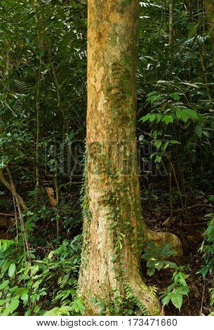 Thymelaeaceae tree raw material for making perfume Eagle Wood at Phuket forest Thailand