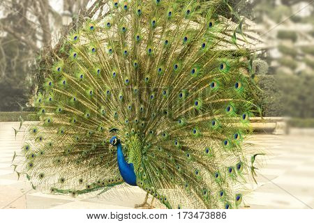 A photo of a royal peacock displaying its tail in the Retiro park in Madrid, Spain
