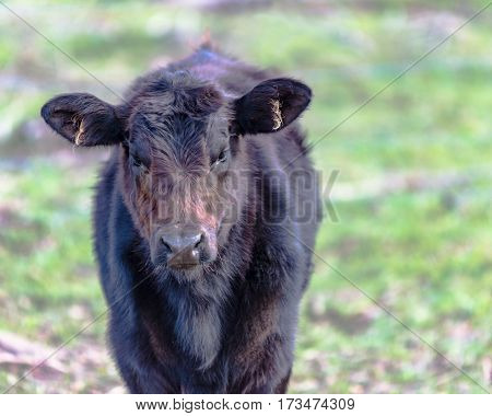 Black Angus crossbred calf with rough hair against a blurred background