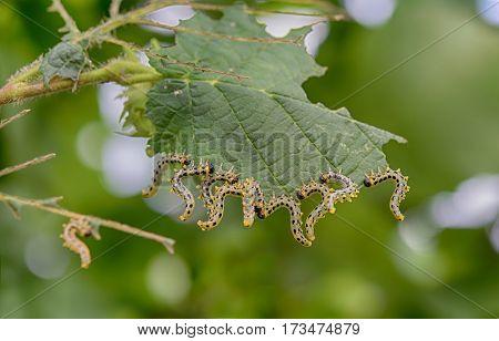 beautiful caterpillars eating a leaf. Close up