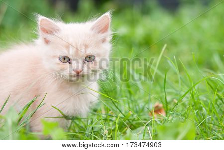 cat with deep blue eyes. A close up