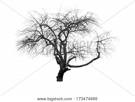 silhouette of a single tree in winter isolated on white