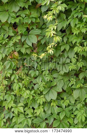 wild grape green wall. A close up