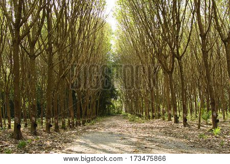 Rubber tree with summer or agriculture in Asian
