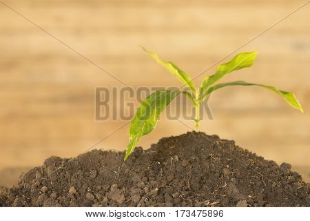Seedlings noni and wooden background.Noni tree image concept.