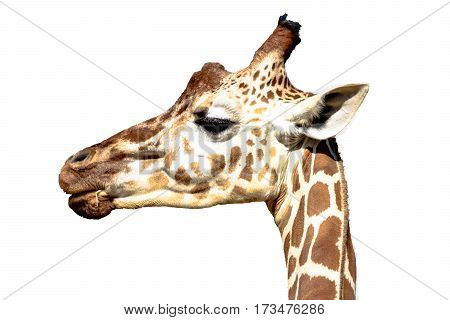Isolated image of a reticulated giraffe head viewed in profile