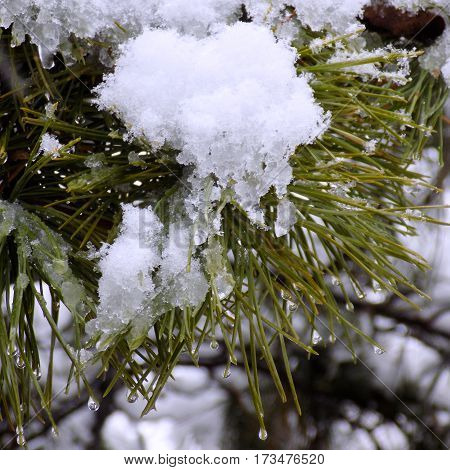 The snow on the branches of green pine trees on a winter day