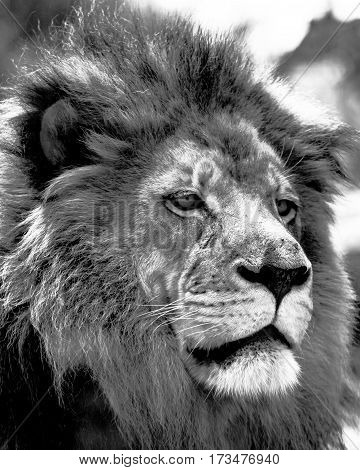 Close up of a male African lion's face in black and white