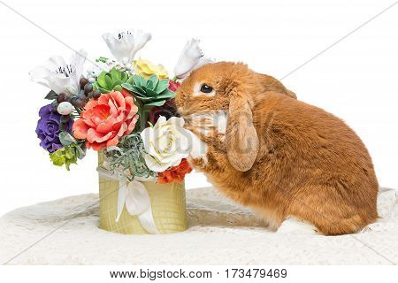 Adorable red domestic lop-eared rabbit sniffing flowers isolated over white background. Copy space.