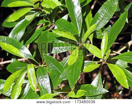 Close shot of leaves of Persea indica in a Laurel forest on Madeira - Selected focus narrow depth of field