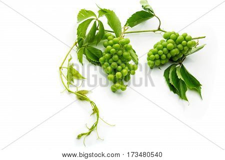 Bunch of fresh green wild grape with leaves. Isolated on white. Copy space.
