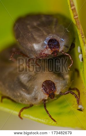 fleas, the dog's blood-sucking insects in leaf
