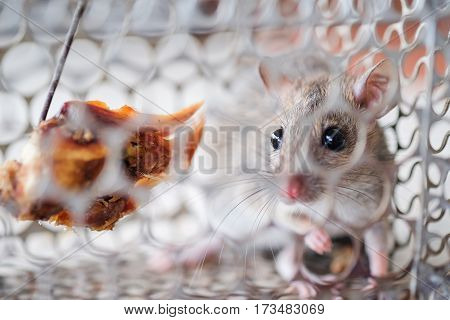 A small rat get caught in a cage trap